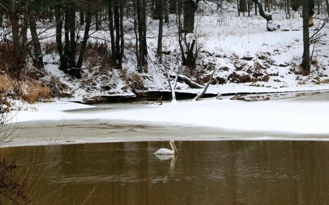 Dalmatian pelican spotted in Belarus first time in 150 years