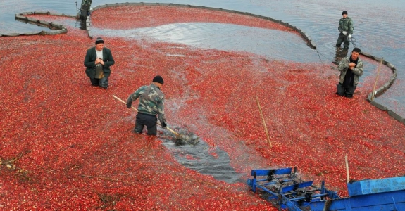 Red and wet! How cranberries are harvested in Belarus
