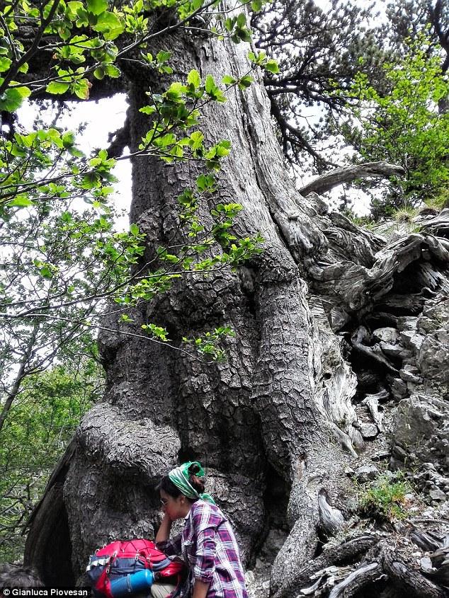 Ученые нашли самое старое дерево Европы в Италии