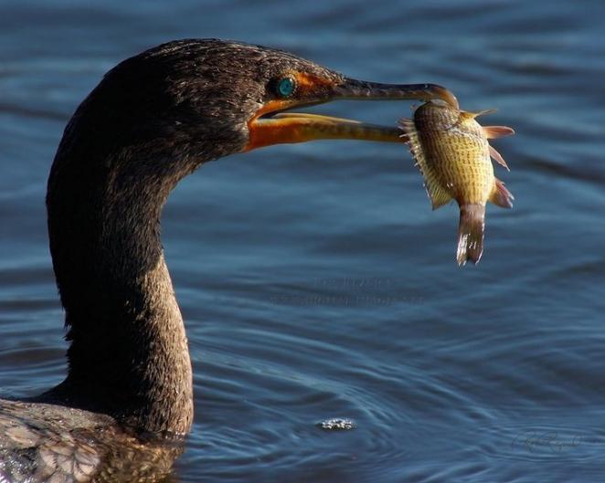 Расплодившиеся бакланы грозят уничтожить всю рыбу на Браславских озерах