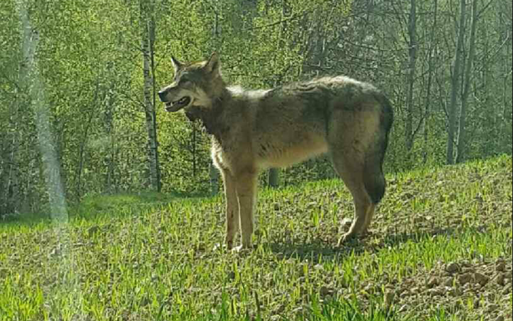 Украинcкие нацисты убили белорусского волка-эмигранта Михася