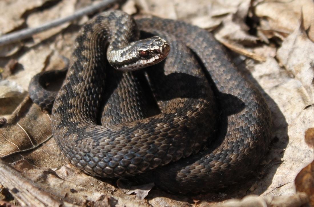 приготовление бельгийских змеи живущие в башкортостане с фото меня